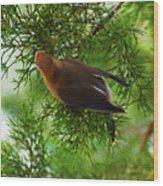 Cedar Waxwing Beauties 1 Wood Print