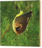 Cedar Waxwing Beauties 9 Wood Print