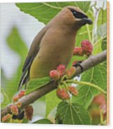 Cedar Waxwing With Mulberries Wood Print
