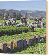 Celery Harvest Wood Print