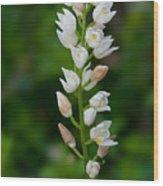 Cephalanthera Longifolia Wood Print