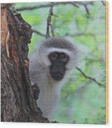 Chacma Baboon Wood Print