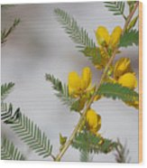 Chamaecrista Fasciculata Sleeping Plant Partridge Pea Wood Print