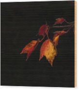 Changing Color Fall Maple Leaves On Black Wood Print