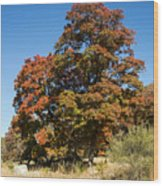 Changing Maple Colors Wood Print
