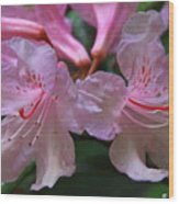 Chapmans Rhododendron Wood Print