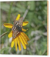 Checkerspot On Bahai Aster 3 Wood Print