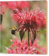 Checking The Bee Balm  Wood Print