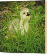 Cheeky Duckling  Wood Print