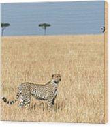 Cheetah Acinonyx Jubatus In Plains Wood Print