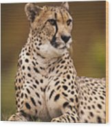 Cheetah Beauty Wood Print
