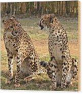 Cheetah Chat 2 Wood Print