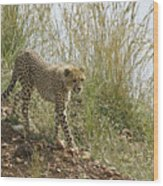 Cheetah Exploration Wood Print