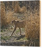 Cheetah  In The Brush Wood Print by Douglas Barnett