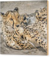 Cheetah Lounge Cats Wood Print