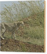 Cheetah On The Prowl Wood Print