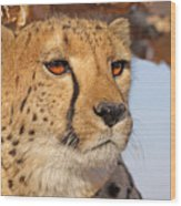 Cheetah Portrait Wood Print