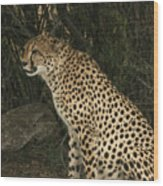 Cheetah Watching Wood Print
