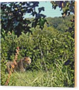 Cheetah Zoo Landscape Wood Print