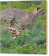 Cheetahs Acinonyx Jubatus Hunting Wood Print