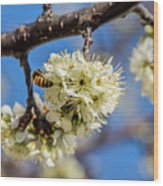 Pear Blossom And Bee Wood Print