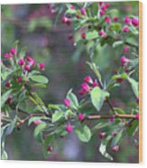 Cherry Blossom Blooms Wood Print
