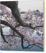Cherry Blossom Breeze Wood Print