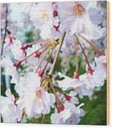 Cherry Blossom Closeup Wood Print