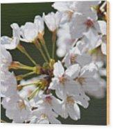 Cherry Blossom Cluster Wood Print