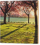 Cherry Blossom In A Park At Dawn Wood Print