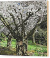 Cherry Blossom Tree Wood Print by Pierre Leclerc Photography