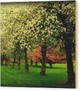 Cherry Blossom Trees Wood Print