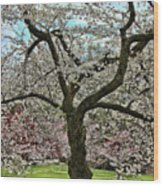 Cherry Blossom Trees Of Branch Brook Park 31 Wood Print