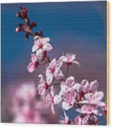 Cherry Blossoms 3 Wood Print