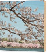 Cherry Blossoms Along The Tidal Basin Five Wood Print