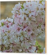 Cherry Blossoms Browns Island 7124t Wood Print