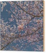 Cherry Blossoms In Bloom Wood Print