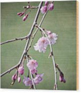 Cherry Blossoms In Early Spring Wood Print