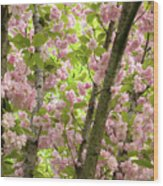 Cherry Blossoms In Spring, Milan, Italy Wood Print