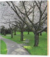 Cherry Blossoms In Stanley Park Vancouver Wood Print