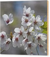 Cherry Blossoms In The Morning Wood Print