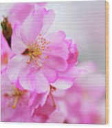 Cherry Blossoms Sweet Pink Wood Print