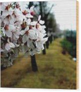 Cherry Blossoms Trail Wood Print