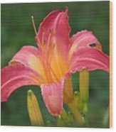 Cherry Cheeks Daylily Wood Print