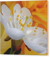 Cherry Flower In The Spring, In Profile Wood Print
