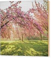 Cherry Flowers Garden Illuminated With Sunrise Beams Wood Print