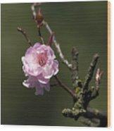 Cherry Tree Bloosom Wood Print
