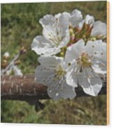 Cherry Tree Blossom White Flower Wood Print