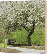 Cherry Tree In Full Bloom Wood Print