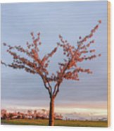 Cherry Tree Standing Alone In A Park, Lit By The Light  Wood Print